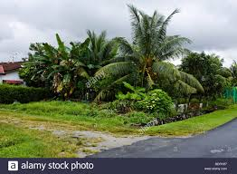 coconut and banana trees growing in a malay backyard stock photo
