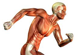 Human Body Muscles Images The Role Of Muscle Fibers In Running Competitor Com