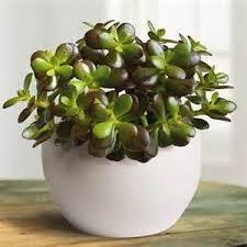 plante de bureau feng shui best 25 feng shui jade ideas on feng shui jade plant