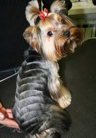yorkshire terrier haircuts pictures remarkable cute yorkie haircuts different yorkshire terrier