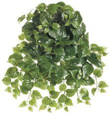 Silk Plants Direct Jade Plant Cheap Vine Plants For Sale Find Vine Plants For Sale Deals On