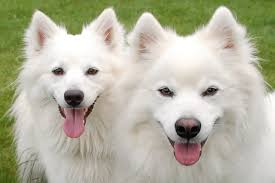 american eskimo dog what do they eat these 15 affectionate dog breeds are the cuddle buddies of your