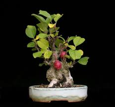 apple bonsai trees