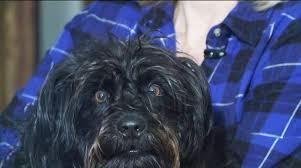 affenpinscher missouri missouri dog survives in trap during 18 hour ice storm cw33 newsfix