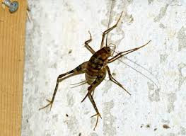 Small Black Bug In Bathroom Spider Crickets The Bugs You Don U0027t Want In Your House This Fall