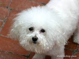 bichon frise breed standard bichon frisé perfectly white hair from wiki means curly lap dog