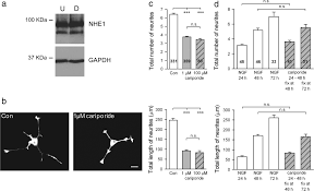 regulation of early neurite morphogenesis by the na h exchanger