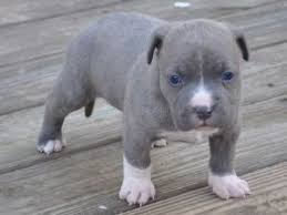 bichon frise for sale cheap american pit bull terrier puppies for sale