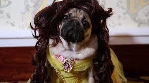 beauty and the pug doug the pug youtube