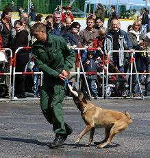 belgian shepherd size file belgischer schaeferhund belgian shepherd malinois jpg