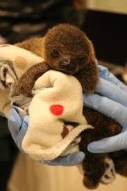 hattiesburg zoo welcomes baby sloth news mississippi