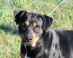 american pitbull terrier puppies louisiana view ad rottweiler american pit bull terrier dog for adoption