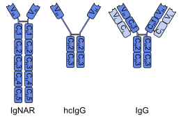 heavy chain light chain heavy chain antibody wikipedia