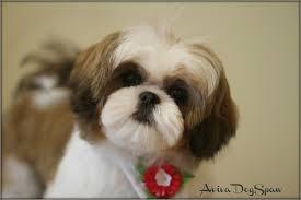 shih tzu haircuts dog groomers coquitlam aviva dogspaw grooming backgrounds and shih