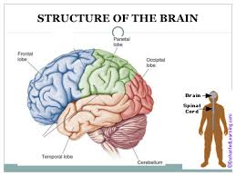 Structure Of Human Anatomy The Human Brain Presentation