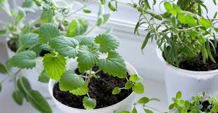 Window Sill Herb Garden by Herbal Tea From Your Windowsill My Garden Life