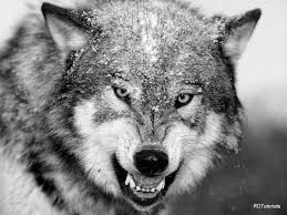 black and white wolf black and white wolf pictures desktop