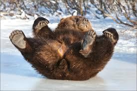Alaska wildlife images Turnagain times bears awaken at alaska wildlife conservation center jpg