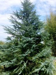 live christmas trees live christmas trees can become part of the landscape after the