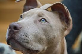 american pitbull terrier illegal why i adopted a pit bull for my kids huffpost