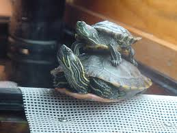 Texas Map Turtle Turtle Enclosures Arachnoboards