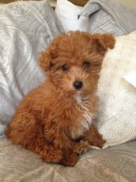 i want a black yorkipoo animals pinterest teacup yorkie