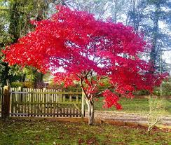 small ornamental deciduous trees evergreen trees for small gardens