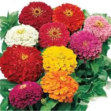 Flower Seeds Online - buy flower seeds buy zinnia elegans dahlia flowered mixed seeds