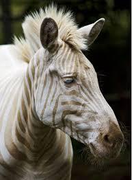 false golden zebra existence living hawaii