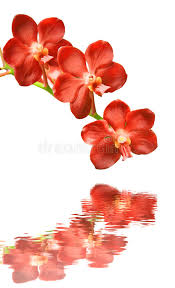 Red Orchids Red Orchids On A White Background Stock Photos Image 23461203