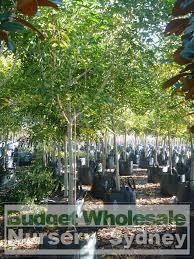 fraxinus griffithii 100lt budget wholesale nursery sydney