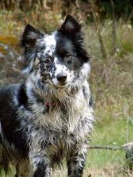 australian shepherd and border collie mix gorgeously patterned red australian shepherd such a beautiful