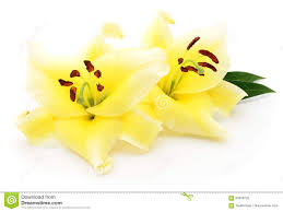 Yellow Lilies Two Yellow Lilies Stock Photo Image 84305735