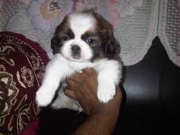 american eskimo dog in india shih tzu price in india shih tzu puppy for sale in bangalore