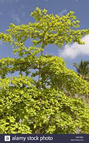 habit combretaceae indian almond malabar almond sea almond