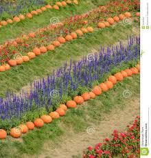 ornamental flower garden with pumpkin stock photo image 51565003