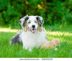 running with australian shepherd puppy two happy running puppies golden retriever stock photo 145368028