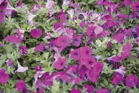 Plants Diseases And Treatment - diseases and insects that may affect wave trailing petunias home