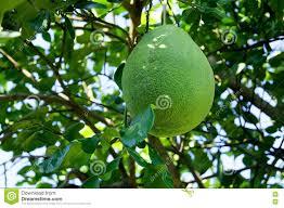 grapefruit green balls on the big tree stock image image 77563873