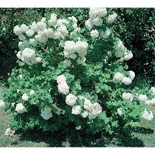 White Flowering Shrub - shop 2 58 gallon white common snowball viburnum flowering shrub