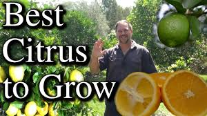 top five citrus fruit trees to grow in your backyard youtube