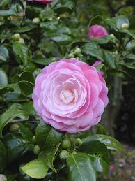 camellia planting and care u2013 how to care for a camellia plant