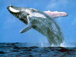 Whaling Meme - blue whales in california bounce back to 1900s numbers