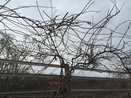 post your pruned hardy kiwi pics general fruit growing growing