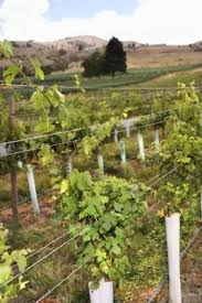 How To Grow Grapes In Your Backyard by The 25 Best How To Grow Grapes Ideas On Pinterest
