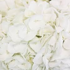 white hydrangea hydrangea flower