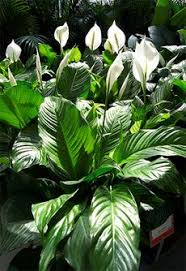 Peace Lily Plant Indoor Peace Lily Plants Growing A Peace Lily Plant Peace Lily