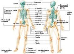Study Anatomy And Physiology Online Free Virtual Anatomy Study Housewife Anatomy And Labs