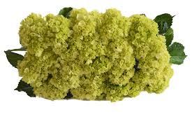 wholesale hydrangeas farm2door farm direct wholesale fresh flowers 30