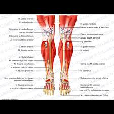Picture Of Human Knee Muscles Knee Leg Foot Anterior View Deep Muscles Blood Vessels And